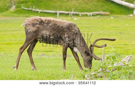 male alaskan caribou feeding