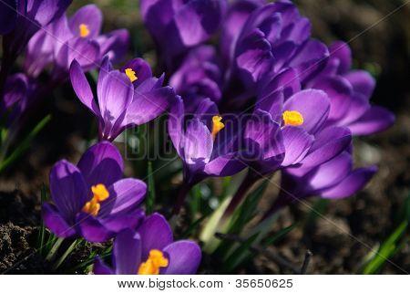Mini springtime magenta crocuses blooming besides the primulas
