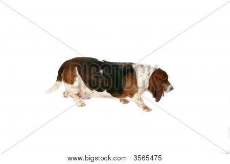 Basset Hound Side View