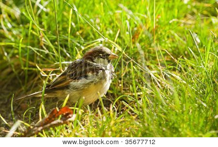 House Sparrow Or Passer Domesticus Feeding