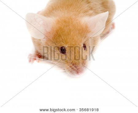 Small  rat. Isolation on white.