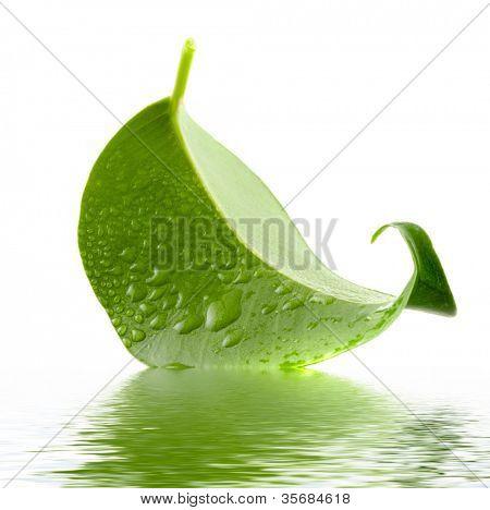 Hoja verde. Aislamiento en el blanco.