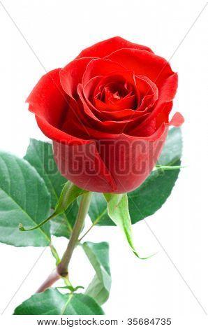 Beautiful rose. Isolation on white