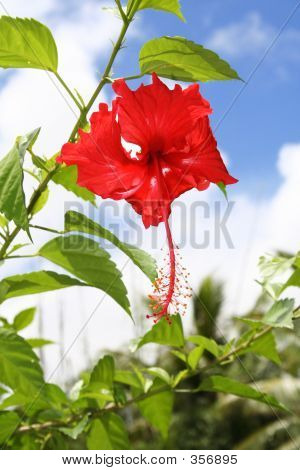 Red Hibiscus Guam