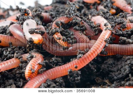 Earthworms in the ground