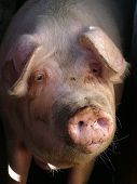 Portrait Of A Pig poster