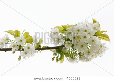 Close Up Of Apple Tree Flowers Over White