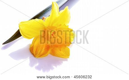 The Flower Of A Narcissus Lies On A White Background.
