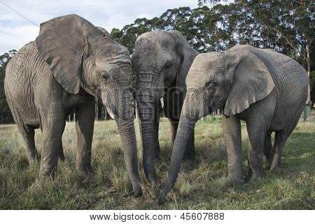 Trio of elephants