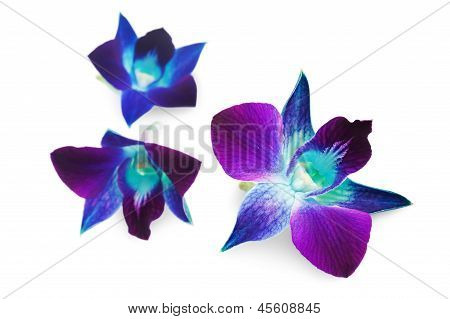 Deep Purple Orchid