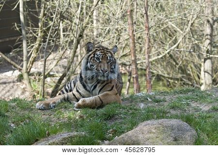 Sumatran Female Tiger