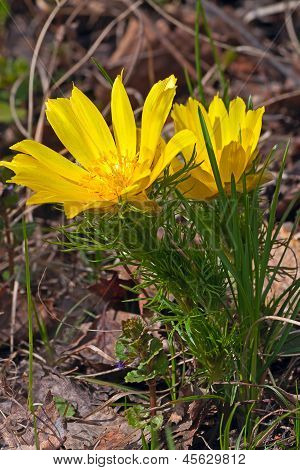Yellow  Adonis