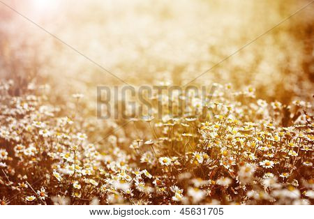 Beautiful fresh chamomile meadow in warm sunset light, selective focus, fine art, greeting card, abstract floral background, summer nature