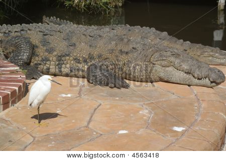Crocodile Large With Body Showing
