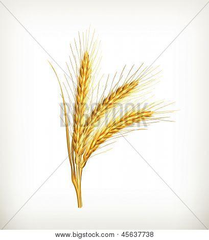 Ears of wheat, vector