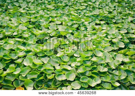 multitude of green water lily plant
