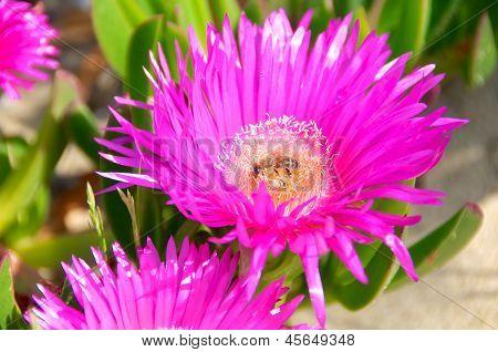 Carpobrotus Edulis Flower, Italy, Fico Degli Ottentotti
