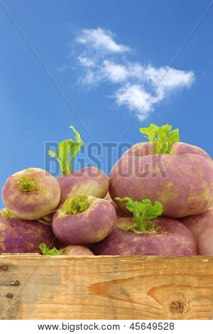 freshly harvested spring turnips (Brassica rapa) against a blue sky with clouds,