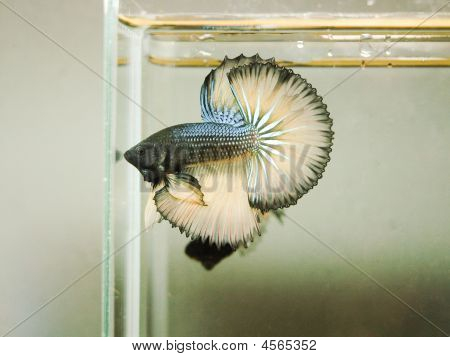 Siamese Fishting Fish
