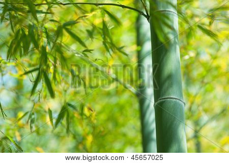 Bamboo forest in warm sunlight.