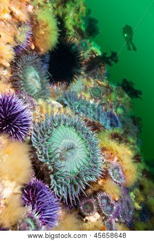 A scuba diver hoovers near a colorful reef covered with sea anemones and sea urchins.  The water is green because it's full of plankton, which the anemones feed on during springtime.