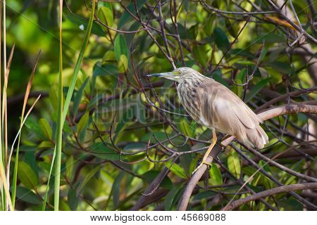 A Squacco Heron