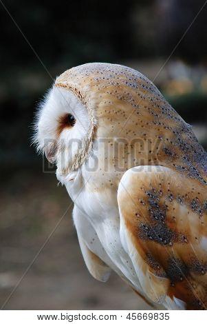 Portrait of a Common Barn Owl (Tyto Alba) in England.
