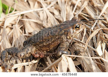 Bufo bufo. Common (European) toad on spring grass background.
