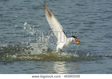 Caspian Tern With Caught Fish