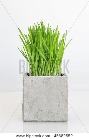 Pasto creciendo en olla concreto