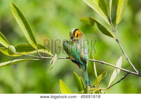 Little Bee-eater Preening