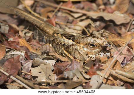 Long-tailed Nightjar In Leaves