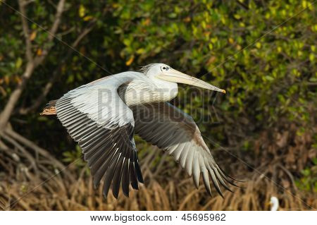 Pink-backed Pelicans Flying