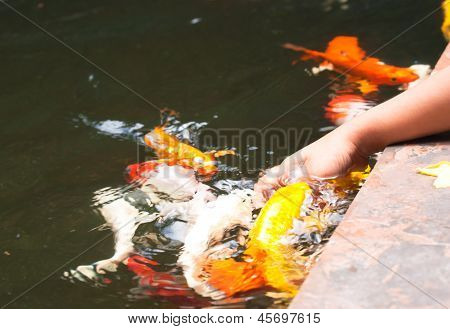 Colorful Koi Or Carps Play With Kids Hand