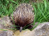 stock photo of ant-eater  - echidna eating - JPG