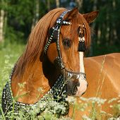 Portrait Of Chestnut Arabian Horse With Perfect Harness