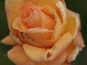 Orange Water Rose