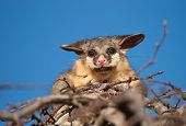 stock photo of possum  - brush tail possum in tree - JPG