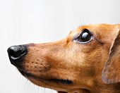 stock photo of dachshund dog  - Dachshund Dog - JPG