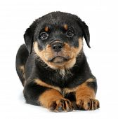 Rottweiler puppy hondje lies down