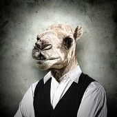 stock photo of dromedaries  - Portrait of a funny camel in a business suit on a gray background - JPG