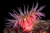 picture of plankton  - A beautiful red rose sea anemone with tentacles fully exposed feeds on tiny plankton floating in the waterat night - JPG