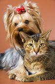 stock photo of yorkshire terrier  - Dog Of Breed Yorkshire Terrier And Cat in studio - JPG