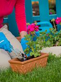 Gardening, planting - woman potting geranium flowers