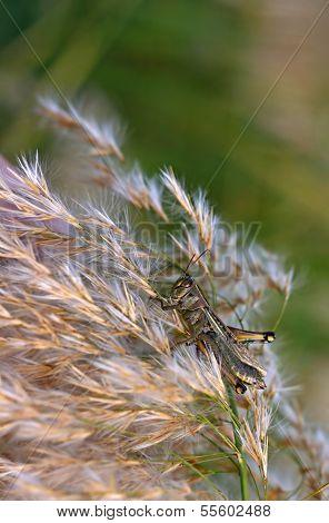 Grasshopper Feeding On Pampas Grass At Sunset