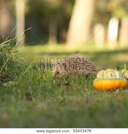 Little Hedgehog Looking