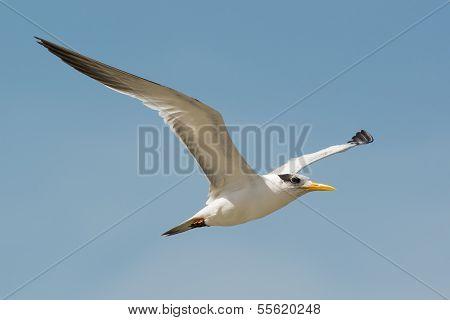 Royal Tern (sterna Maxima) In Flight