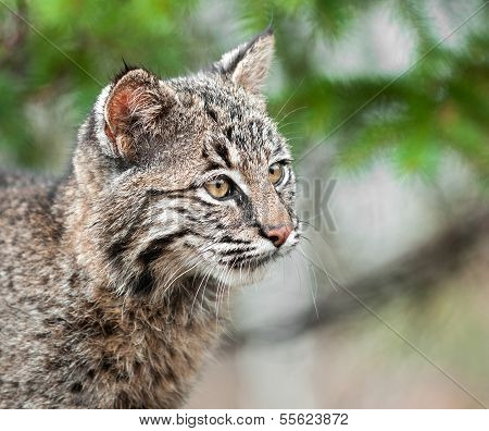 Bobcat Kitten (Lynx rufus) Looks Right Closeup