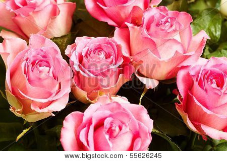 Background of fresh pink rosebuds with water drops on their petals