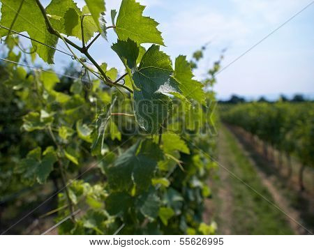 Vineyard Landscape In Italy